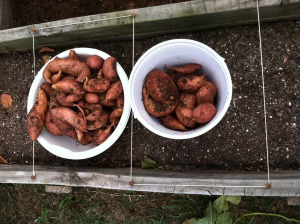 Our sweet potato harvest for 2014! Hope they are as good to eat as they were fun to harvest!